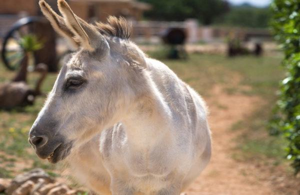 Can Paulino Mallorca - Eselwanderung - Esel Fanny