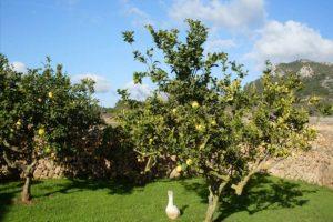 Can Paulino Mallorca - Bildern - Zitronengarden