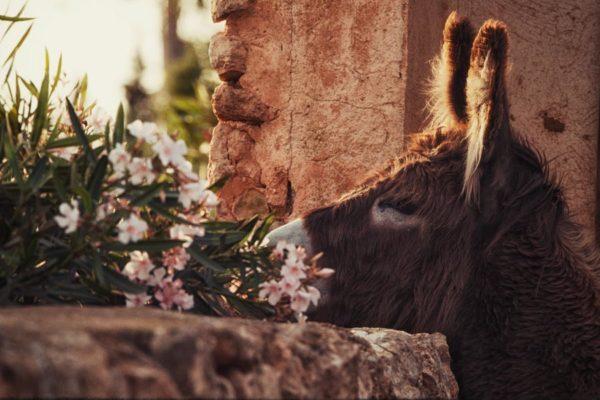 Can Paulino Mallorca - Eselwanderung - Esel Linda