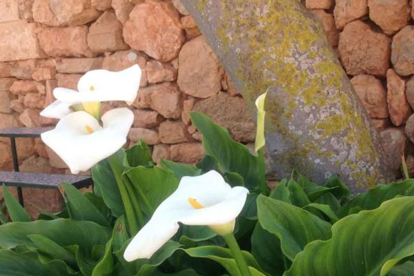 Can Paulino Mallorca - Bildern - Blumen