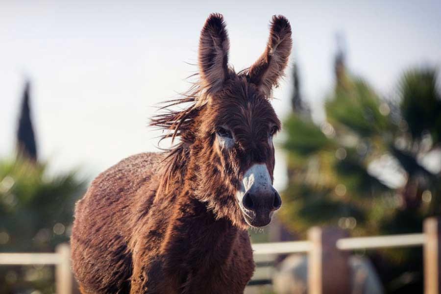 Can Paulino Mallorca - Bildern - Esel
