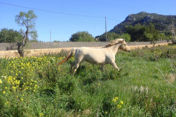 Can Paulino Mallorca - Pensionpferde Pferde